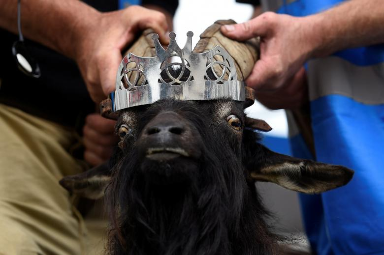 A crown is affixed to a wild goat as it is crowned King Puck and will be held on a platform above the town for three days in Killorglin