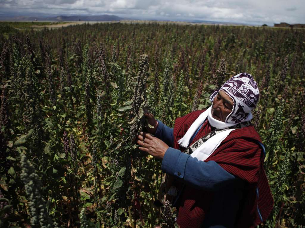 Peru Overtakes Bolivia in Quinoa Production